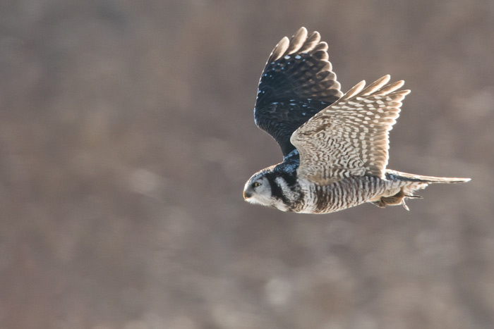 A highlight of the Kodiak tour was watching Northern Hawk Owls at length. Photo Lucas DeCicco.