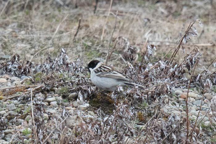 Probably the rarity of the spring (in a spring with MANY rarities) was this stunning male Pallas's Bunting, the first spring record for Gambell! Photo Aaron Lang.