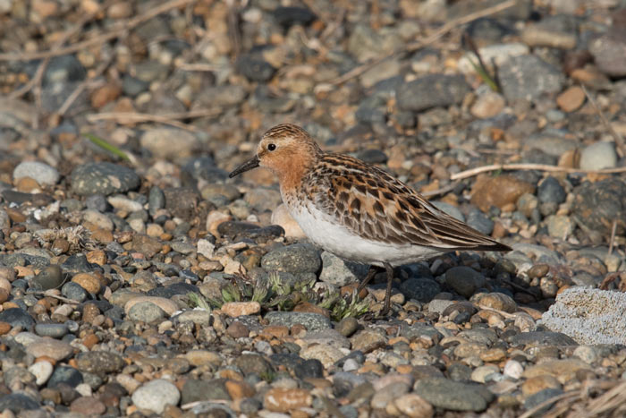 Always a crowd-pleaser, Red-necked Stints are regular migrants at Gambell. Photo Aaron Lang.
