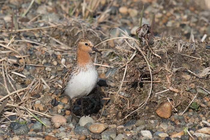 The aptly named Red-necked Stint. Photo Aaron Lang.