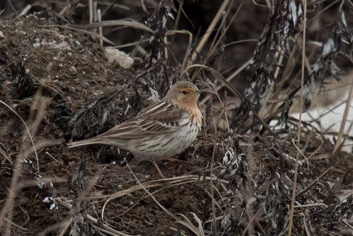 Most years at Gambell we find Red-throated Pipits on our spring tours. Some, like this bird, are quite accommodating! Photo Aaron Lang.