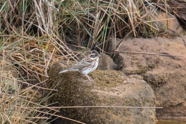 This Rustic Bunting was certainly one of the rarity highlights of our 2017 trip to Adak Island. Photo Aaron Lang.