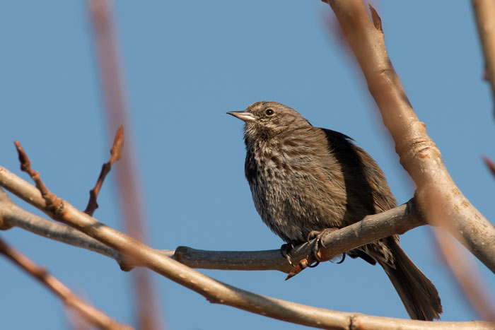 The insignis race of Song Sparrow is a common year-round resident on Kodiak Island. Photo Lucas DeCicco.