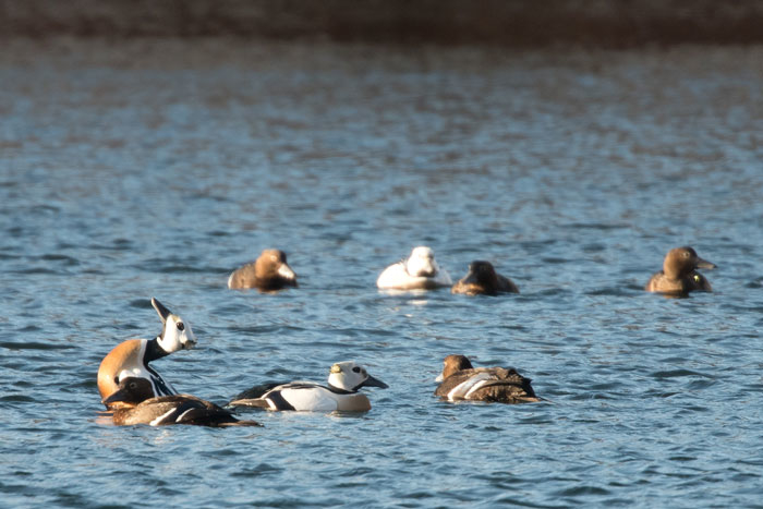 Steller's Eiders display to each other at Kodiak. Photo Lucas DeCicco.