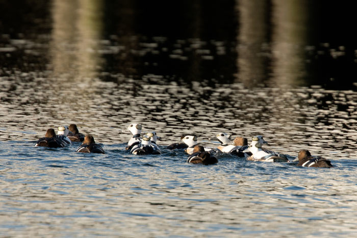 Kodiak is one of Alaska's best locations for getting excellent views of Steller's Eiders. Photo Lucas DeCicco.