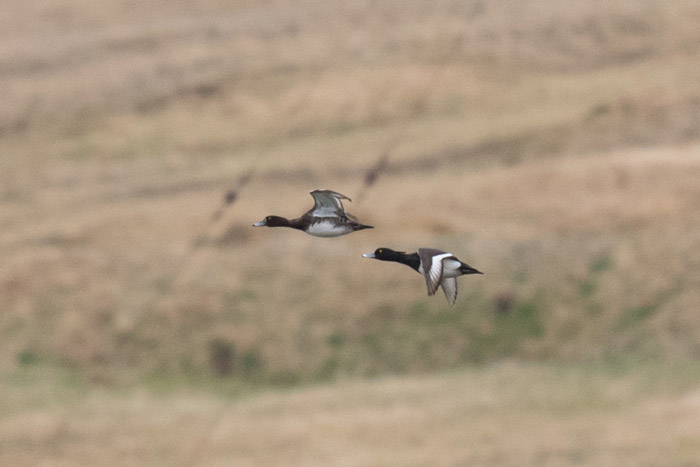 A pair of Tufted Ducks at Adak. Photo Aaron Lang.