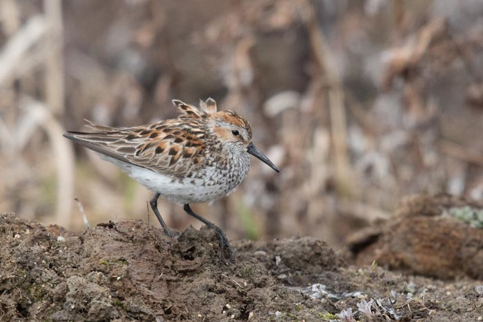 The showy Western Sandpiper breeds on the tundra at Gambell. Photo Aaron Lang.