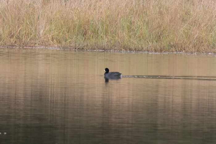 While not that exciting to most lower 48 birders, American Coot is quite rare in Alaska and we were very excited to see this bird in Juneau.