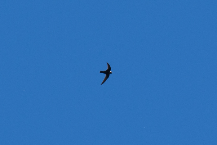 Hyder is one of the best spots to look for Black Swift in Alaska. We saw them on each day of the trip.