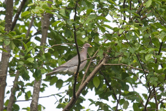 Our trip involved a morning in Ketchikan to bird. Band-tailed Pigeon is a specialty of Ketchikan and not hard to find if you know where to look.