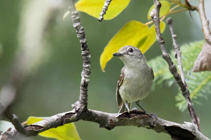 Cassin's Vireo is a difficult bird to find in Alaska. We were thrilled to find this one on the last full day of our trip.