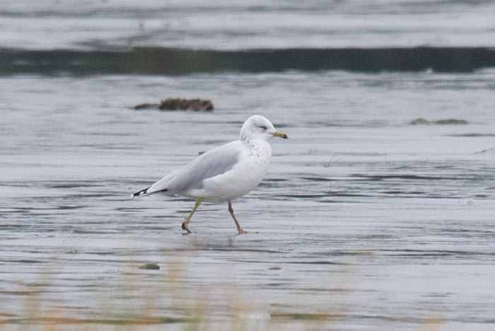Rare in Alaska, this Ring-billed Gull in Juneau was a very nice surprise for our trip.