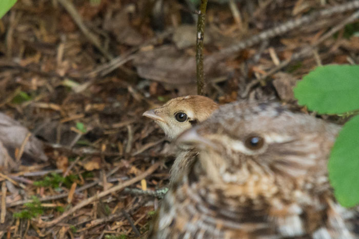 A Ruffed Grouse and her chick.