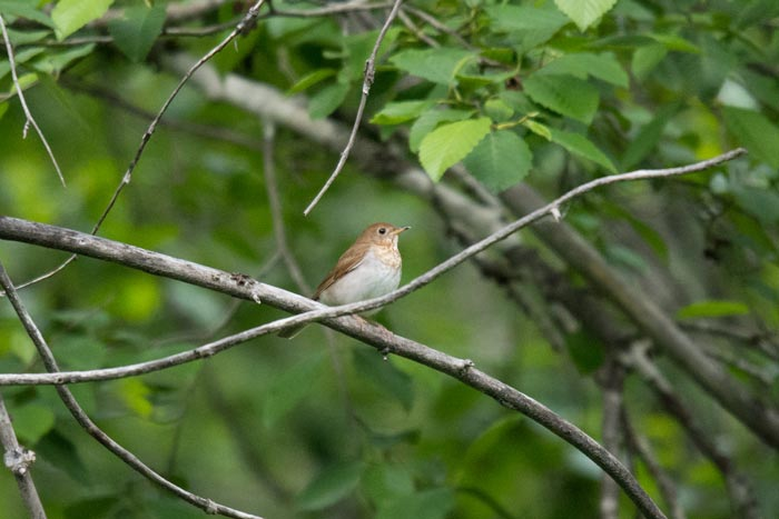 With much persistence our group finally got excellent views of this singing, but shy Veery, by far the rarest bird of the trip!