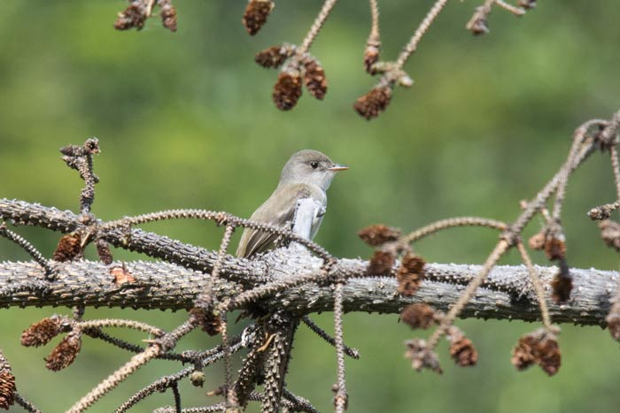 This Willow Flycatcher sang each morning right outside our hotel in Hyder. It's very rare in Alaska, but has been on territory in Hyder the last two years.