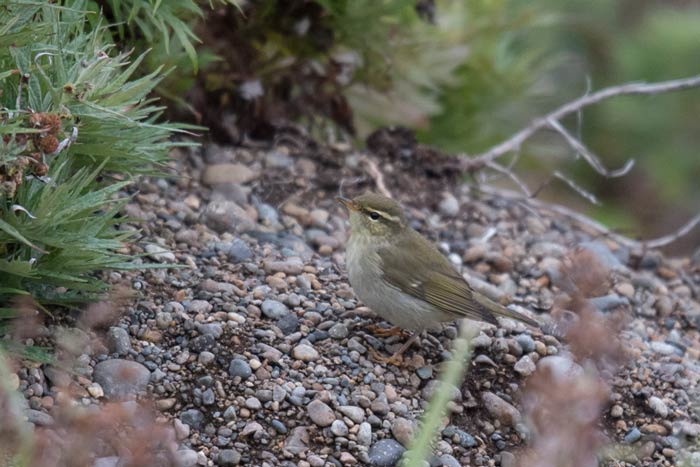 Arctic Warblers are regular migrants in both spring and fall at Gambell, Alaska.