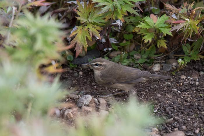 This Dusky Warbler was one of three we saw on our 2017 fall tour to Gambell, Alaska.