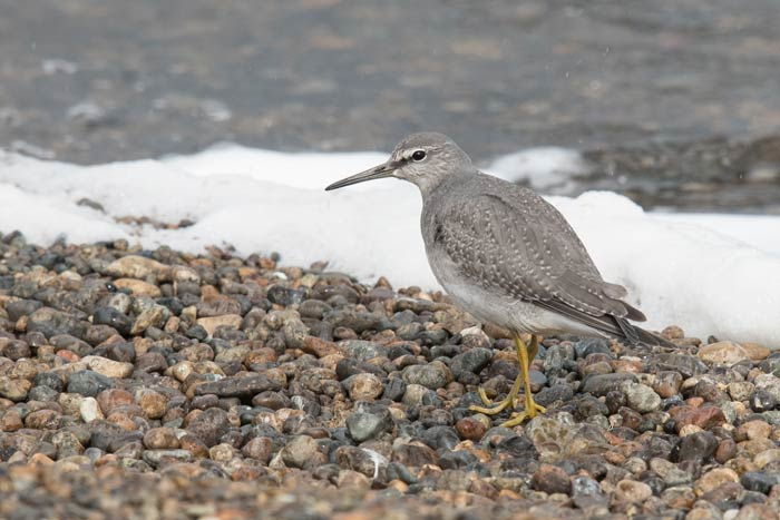 Gray-tailed Tattler on the shore of Troutman Lake. Most years we get at least one Gray-tailed Tattler on our fall trip to Gambell, Alaska.