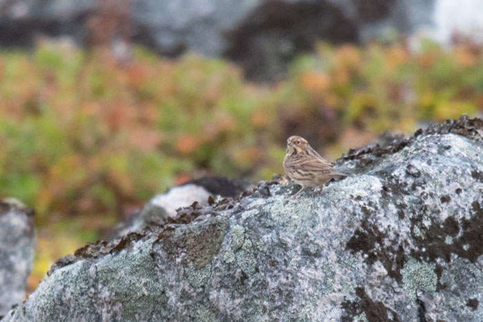 On the very last day of the trip we scored a Taiga Flycatcher and this striking Little Bunting! Quite a send off!