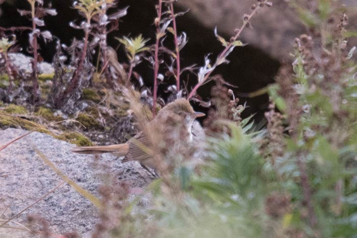 Peek-a-boo I see you! North America's first Thick-billed Warbler.