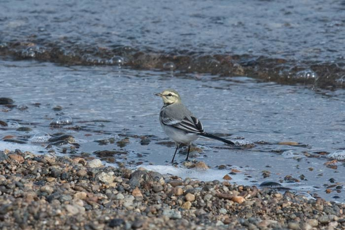 White Wagtails are common breeding birds at Gambell.