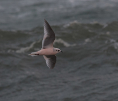 The Ross's Gull Migration: Barrow 2018