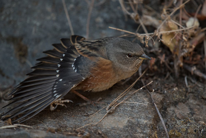 Alpine Accentor showing off its wing.