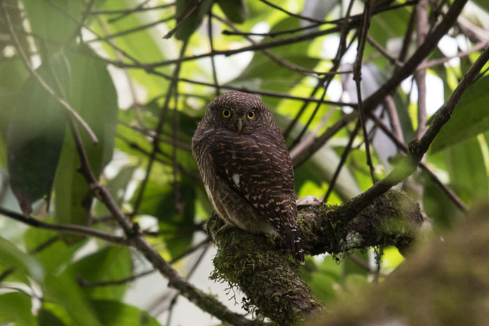 Asian Barred Owlets are common throughout much of Bhutan.