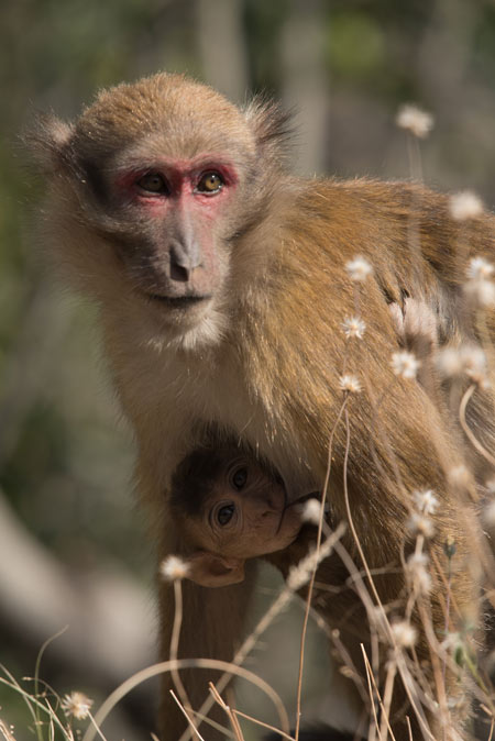 Assamese Macaque with a baby.