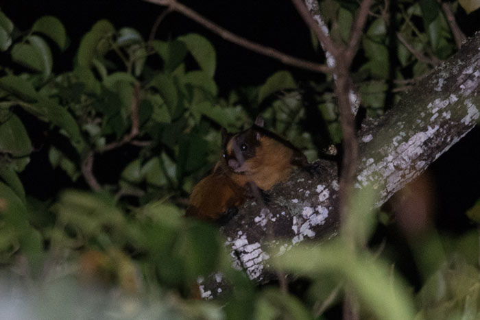 Bhutan Giant Flying Squirrel on one of our night drives.