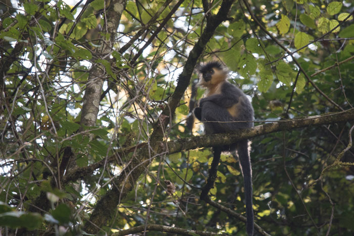There are three species of Langurs in Bhutan. Here is the species of the eastern forests, the Capped Langur.