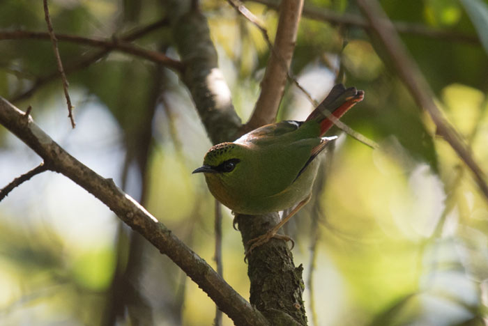 Fire-tailed Myzornis can be difficult to track down in the fall. This year we found three birds near Sengor.