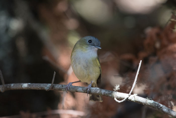 The sweet-looking Green Shrike Babbler is a fairly common component of mixed flocks near Thimphu and Paro.