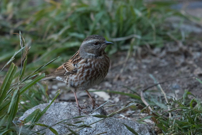 The Himalayan, or Altai Accentor, is the highest elevation accentor in Bhutan. We miss it on the majority of our trips, but this year we found a very cooperative flock near the entrance to the Tiger's Nest monastery.