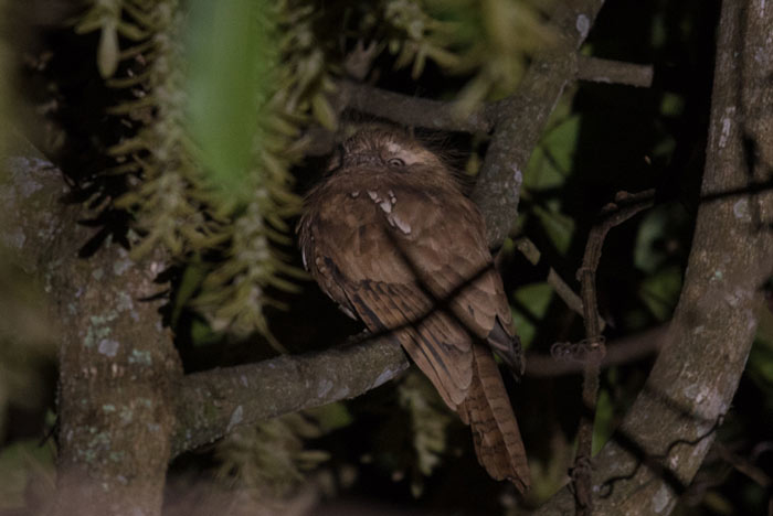 A real treat on the tour was finding this Hodgson's Frogmouth which has only recently been discovered in the forests around Yongkola.