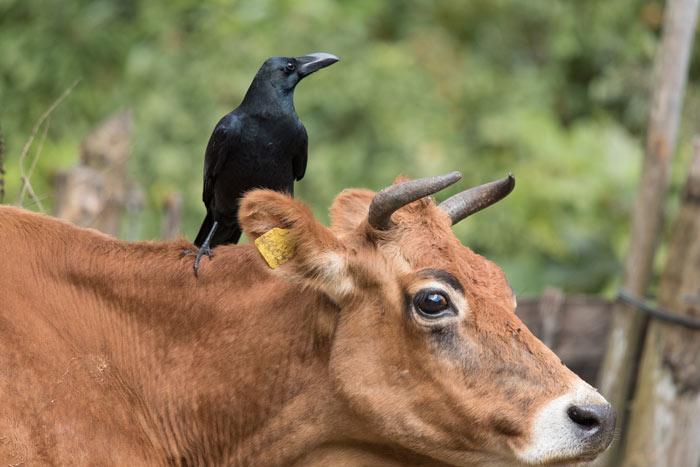 A Large-billed Crow picks ticks off a cow. The cow didn't seem to mind at all.