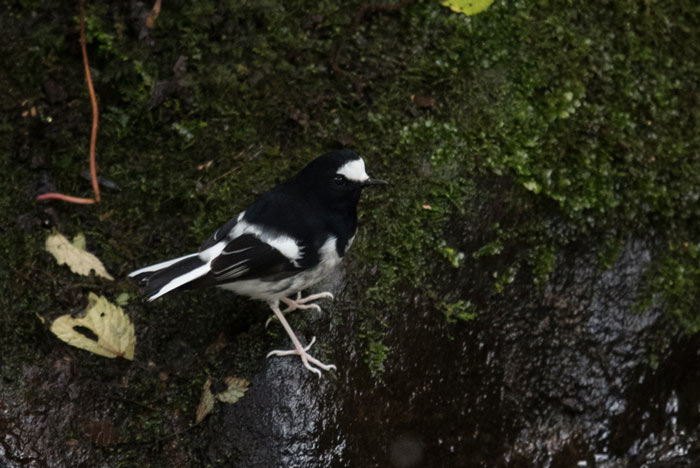 This Little Forktail disturbed our riverside breakfast in the Jigme Dorji National Park.