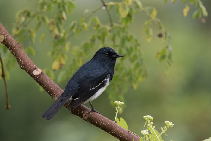 Oriental Magpies are common in open country in mid and low elevation areas.