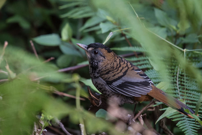 We had incredible views of Rufous-chinned Laughingthrush on our 2018 tour!