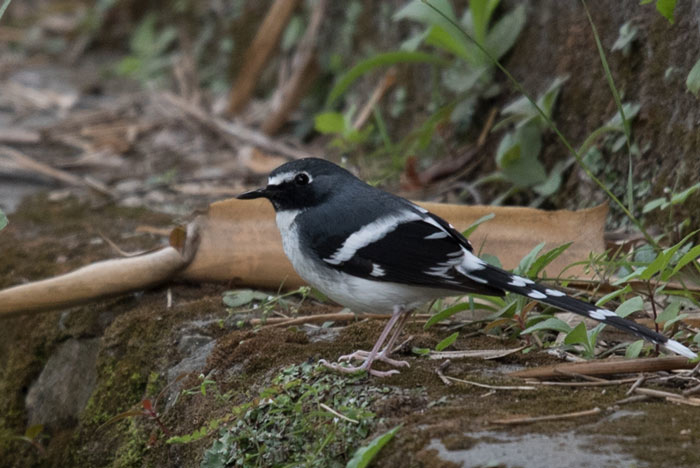 Slaty-backed Forktail, one of four species of Forktails on the tour.