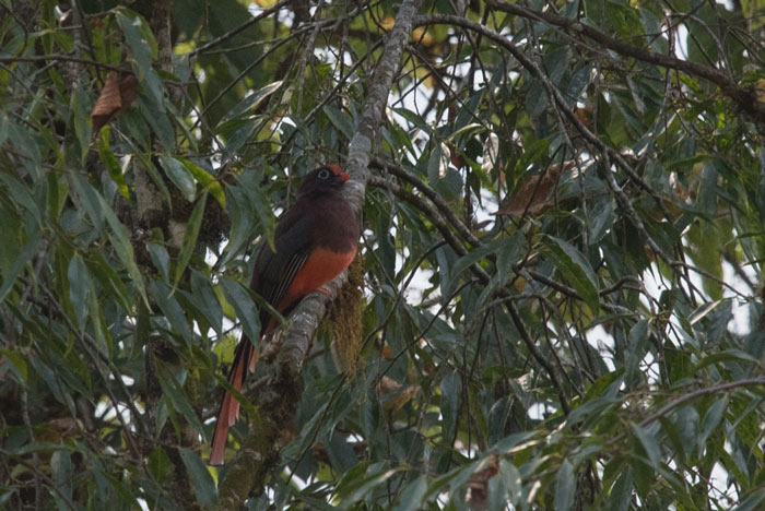 The Ward's Trogon is a bird worthy of an extra special effort. It took us a little longer than usual to connect this year, but we finally caught up with a singing male!