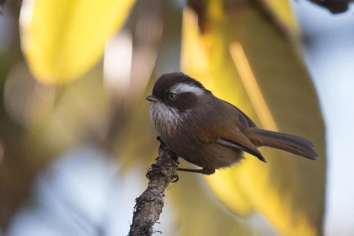 White-browed Fulvettas are common in the higher elevation forests of Bhutan.