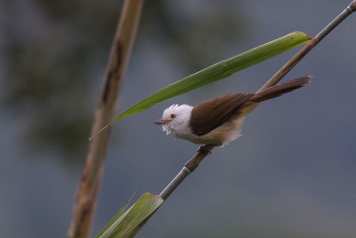 Secretive denizens of dense bamboo, White-hooded Babblers are always a treat to see!